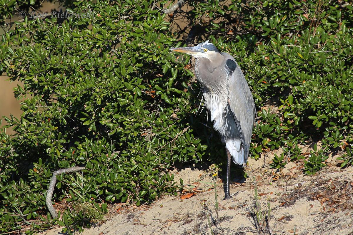 31 Oct 2015 - Back Bay NWR, Virginia Beach, VA