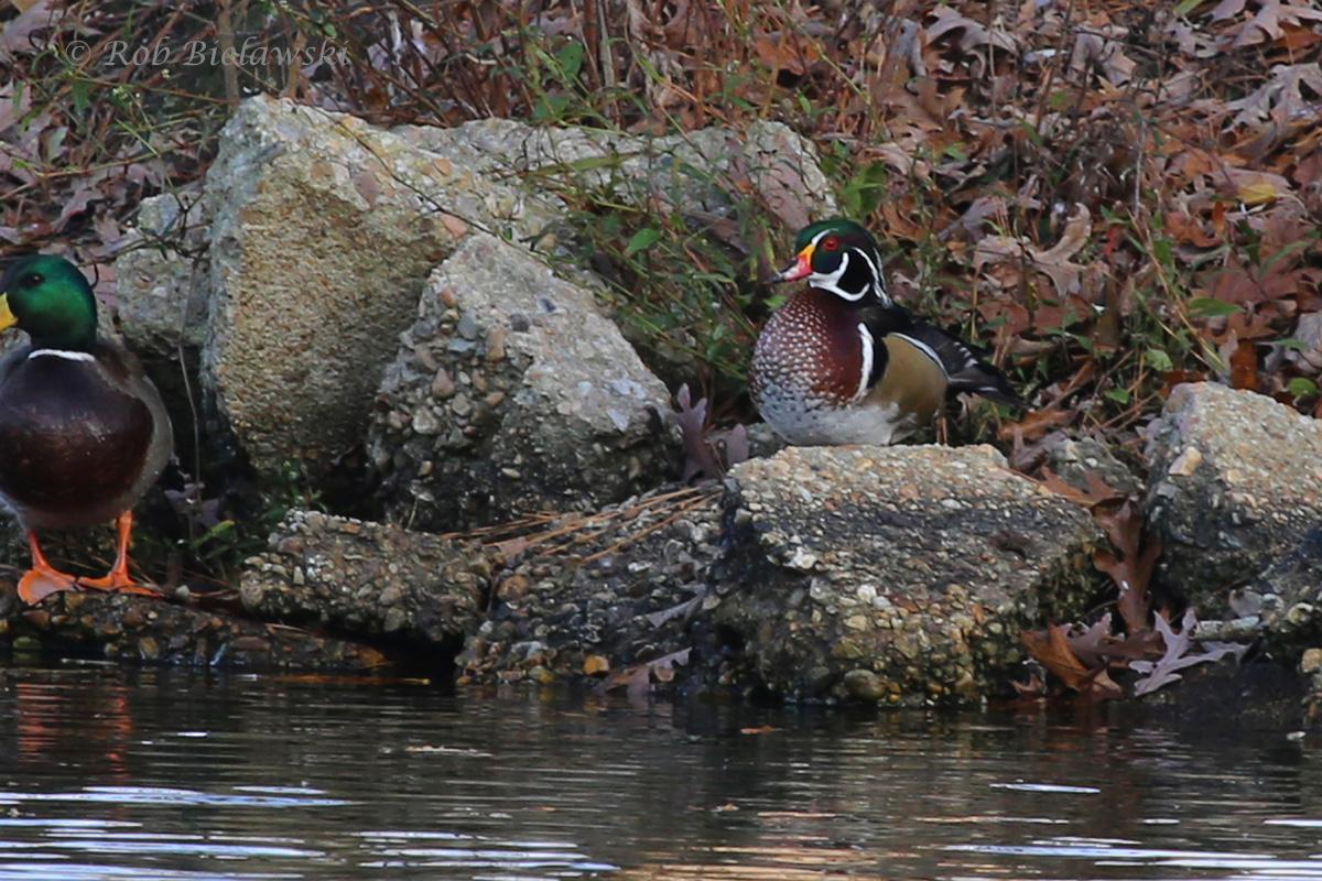 Mallard & Wood Duck