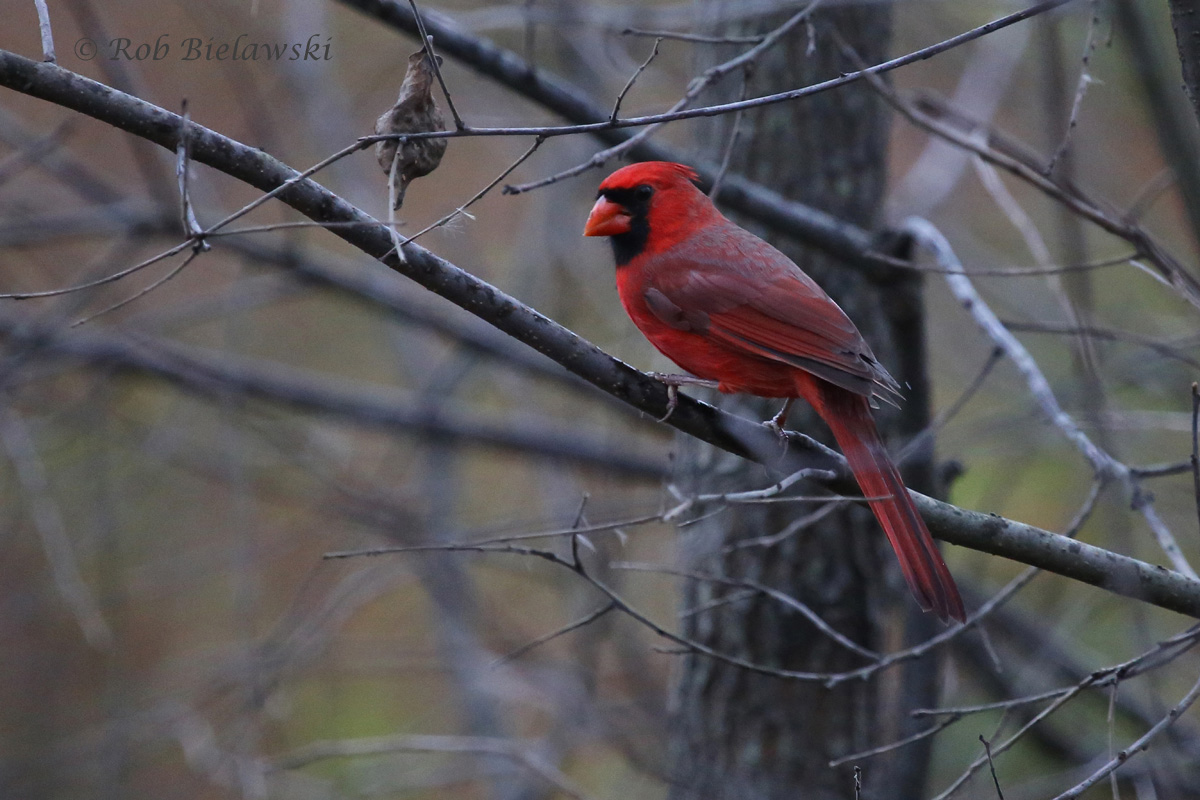 One of many male Northern Cardinals seen in Fairfax County!