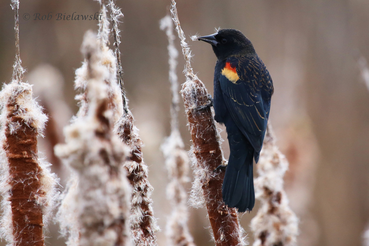 One of the several hundred Red-winged Blackbirds seen at Huntley Meadows on Saturday!