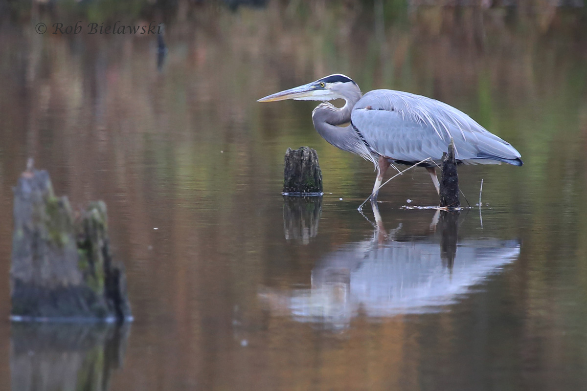 This beautiful Great Blue Heron shows off its reflection on the upstream waters of Lake Mercer on Saturday!