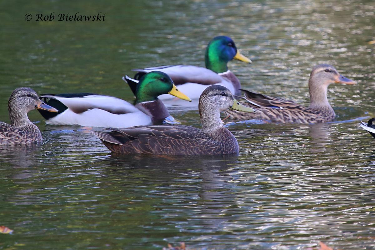 American Black Duck (foreground) with Mallards (background) - 6 Nov 2015 - Kings Grant Lakes, Virginia Beach, VA