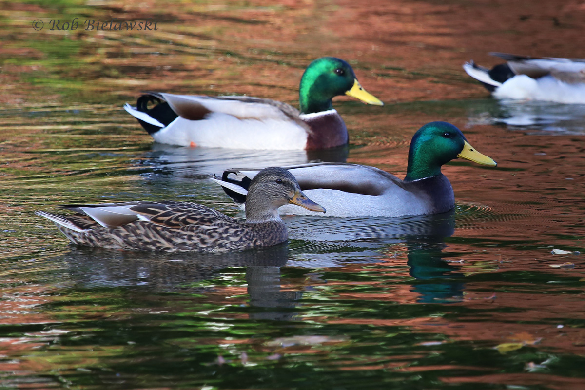 6 Nov 2015 - Kings Grant Lakes, Virginia Beach, VA