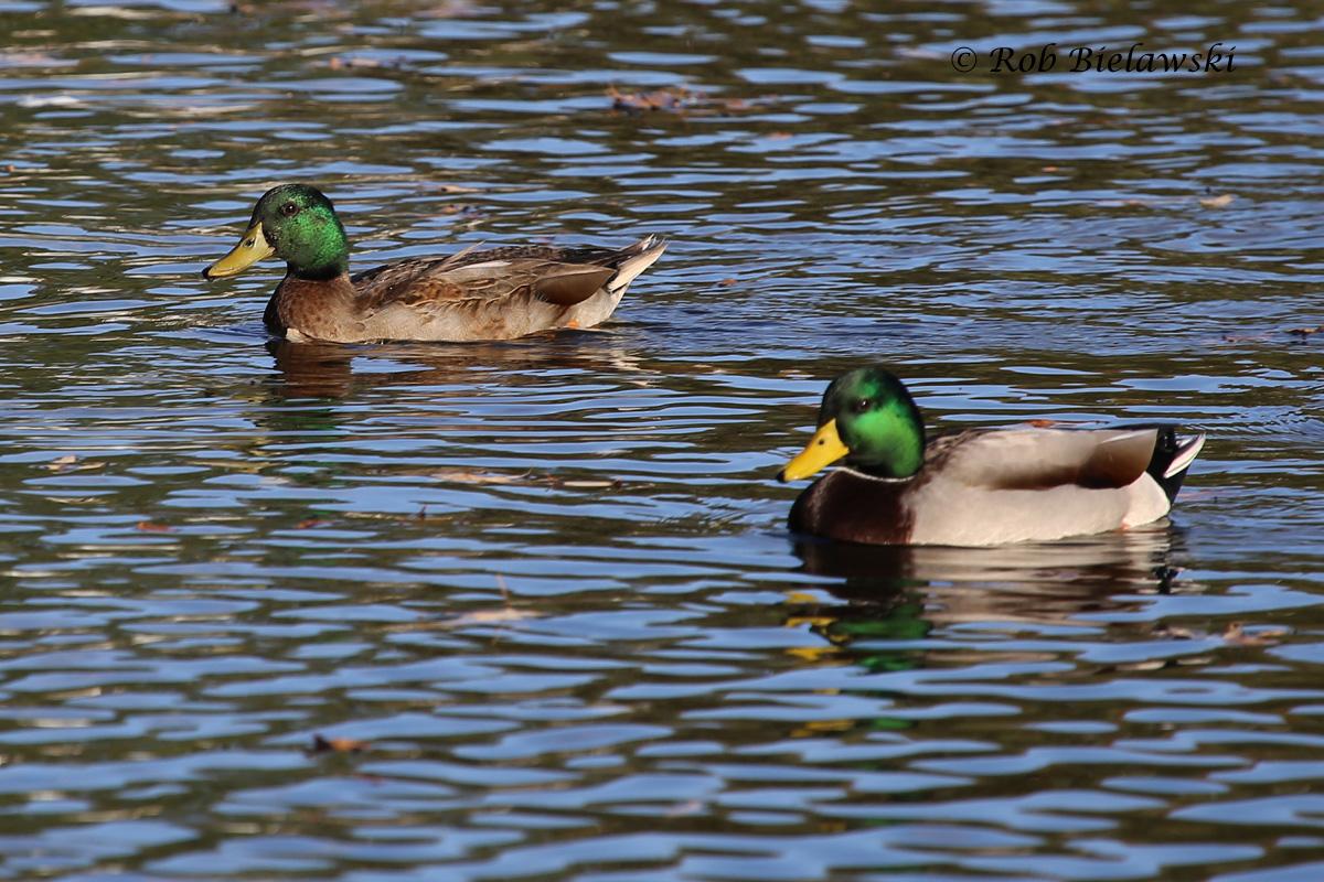 Wild/Domestic Mix (left) & Wild Mallard (right) -6 Nov 2015 - Kings Grant Lakes, Virginia Beach, VA