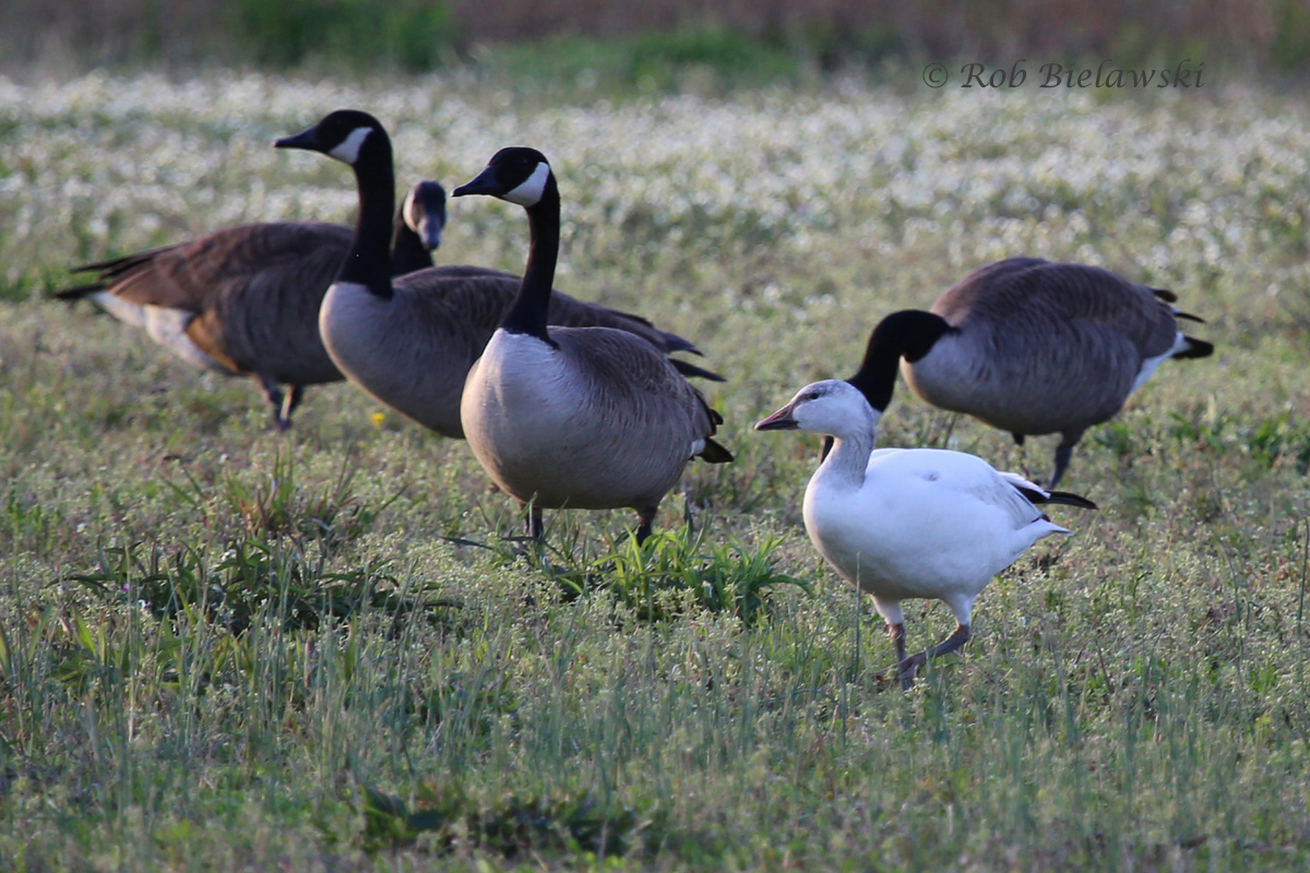 Snow Goose (lower right) with Canada Geese - 13 Apr 2015 - Renaissance Park, Virginia Beach, VA