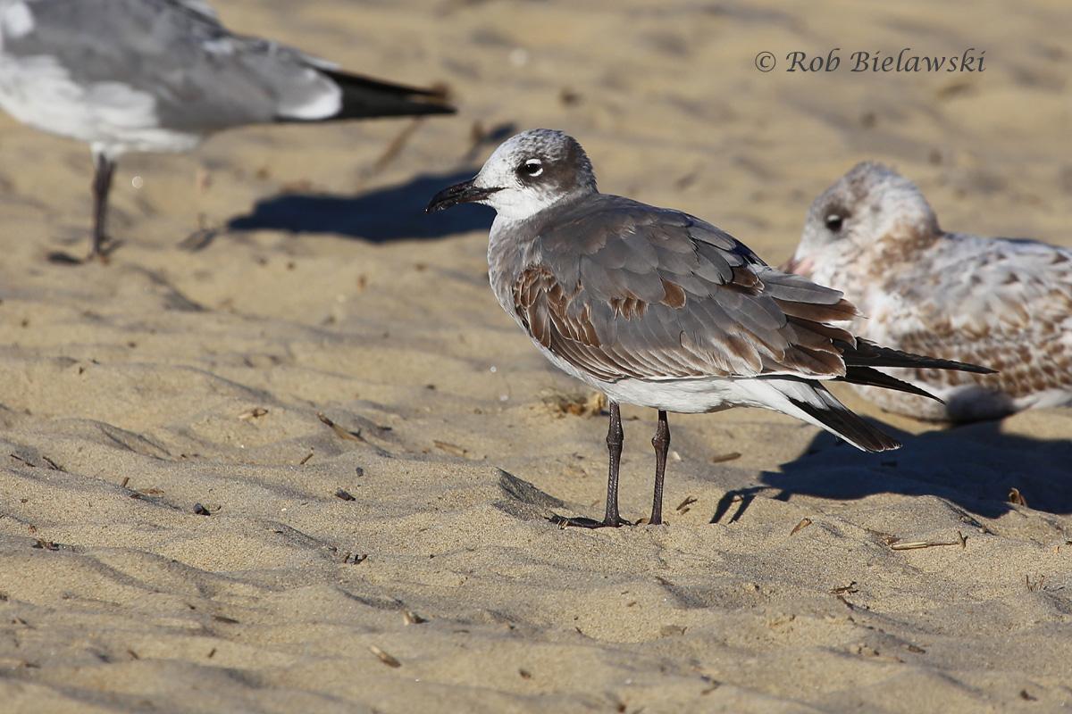 Laughing Gull & Ring-billed Gulls