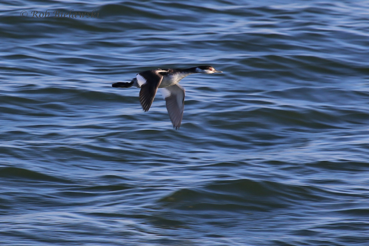 First of season (FOS) Horned Grebe in flight at Rudee Inlet on Friday evening!