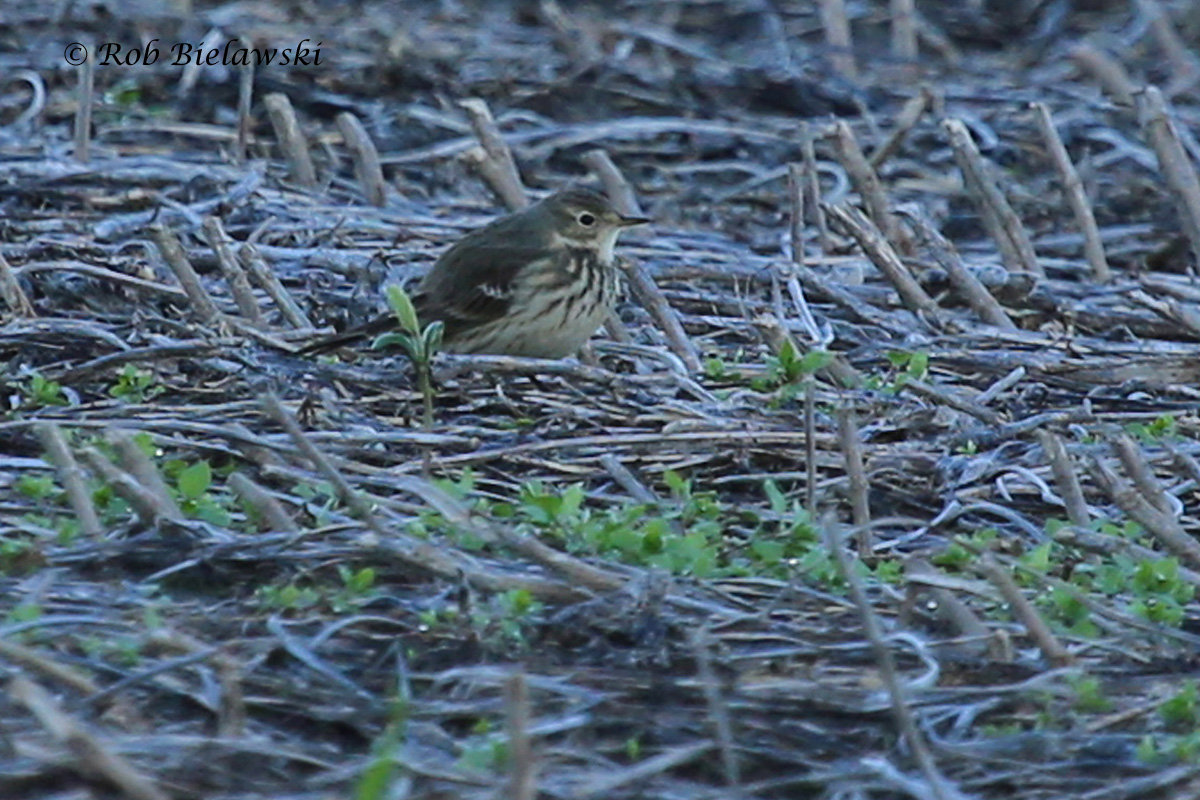 A new addition to my life list this week, an American Pipit! One of 86 of them found in a field in Pungo!