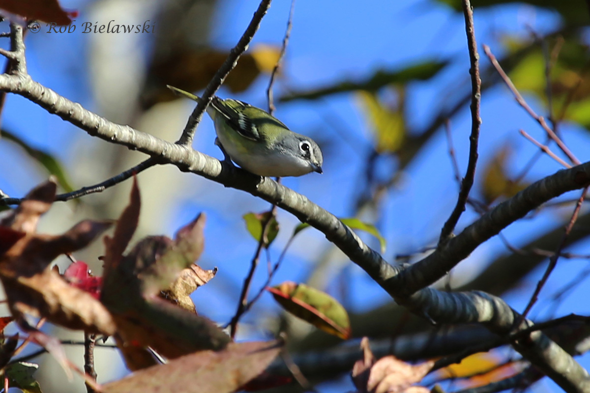A first of year (FOY) county bird, this Blue-headed Vireo was found on Munden Road at the parking lot of Princess Anne WMA's Whitehurst Tract!