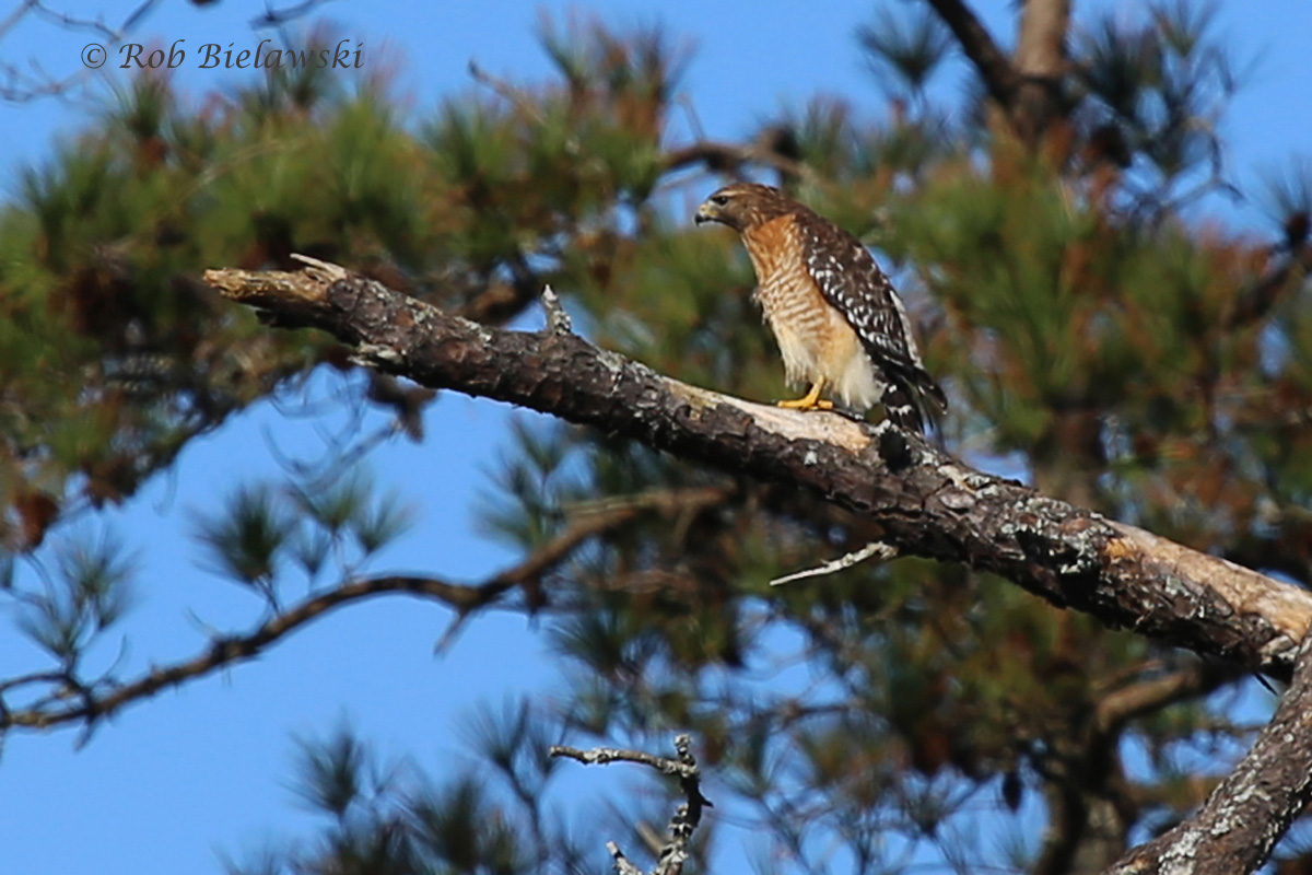 My first clean shot of a Red-shouldered Hawk in Virginia Beach, seen here at Mill Dam Creek off Blackwater Road!
