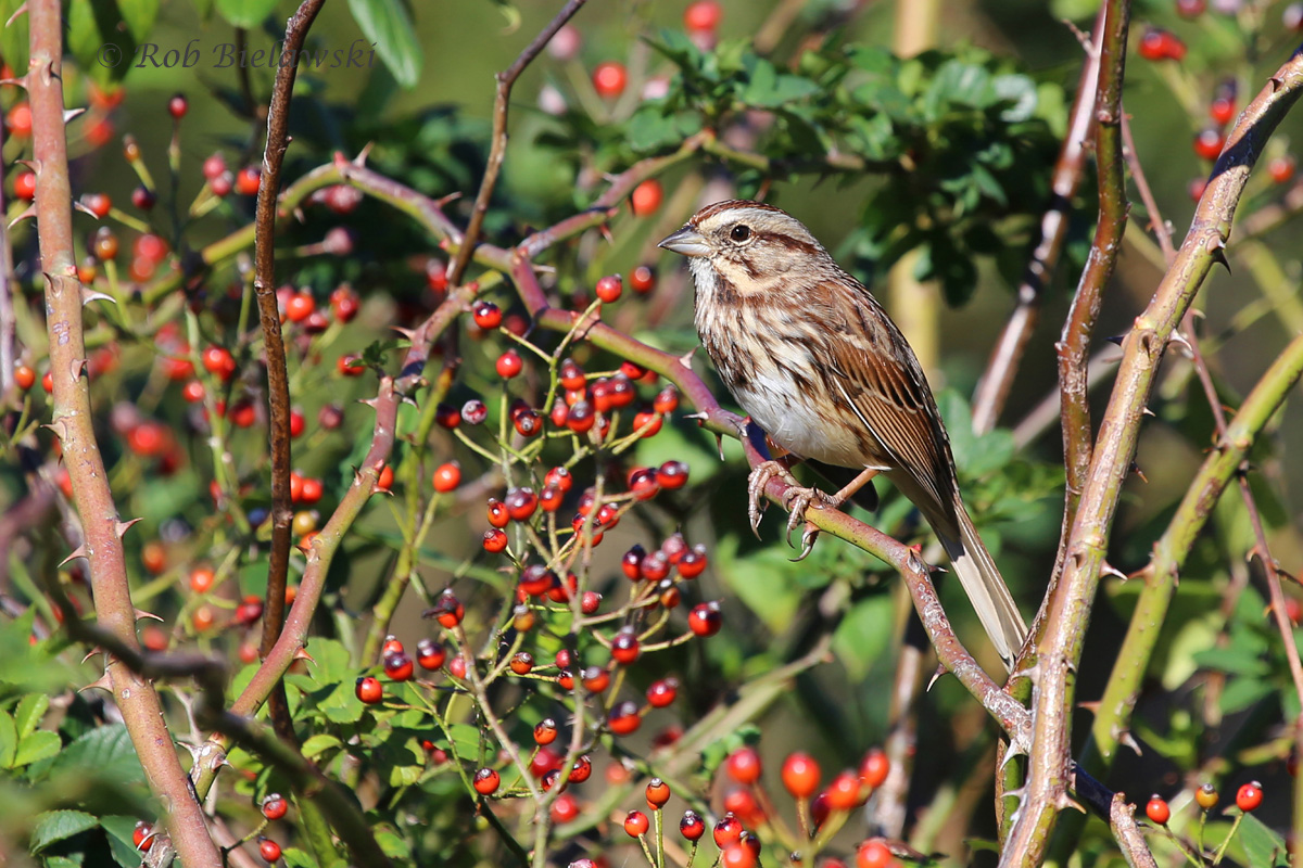 One of our most abundant sparrows around the region right now, the striking Song Sparrow!
