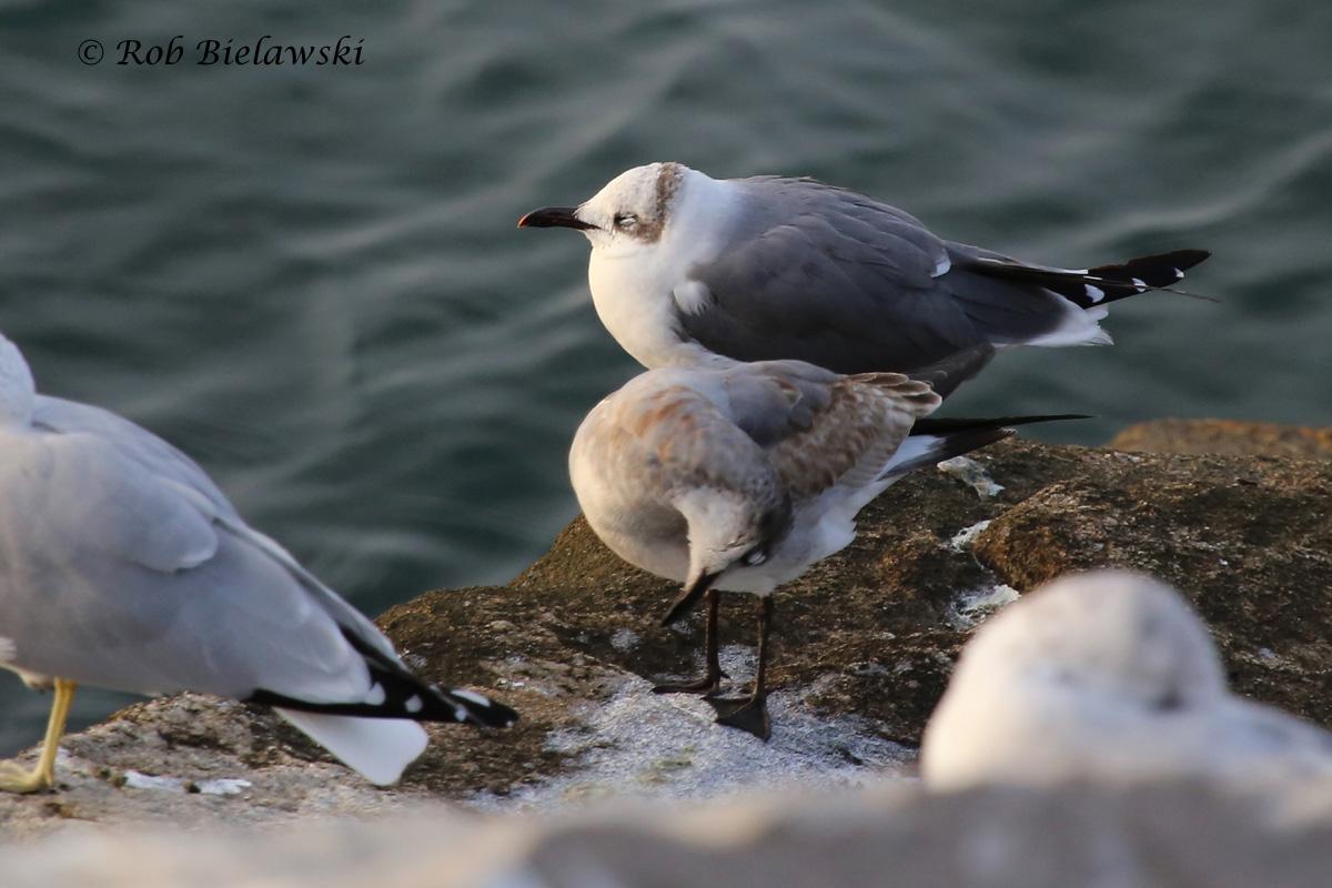 Laughing & Ring-billed Gulls
