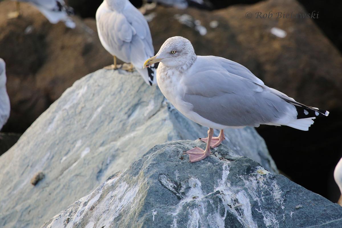 Herring & Ring-billed Gulls