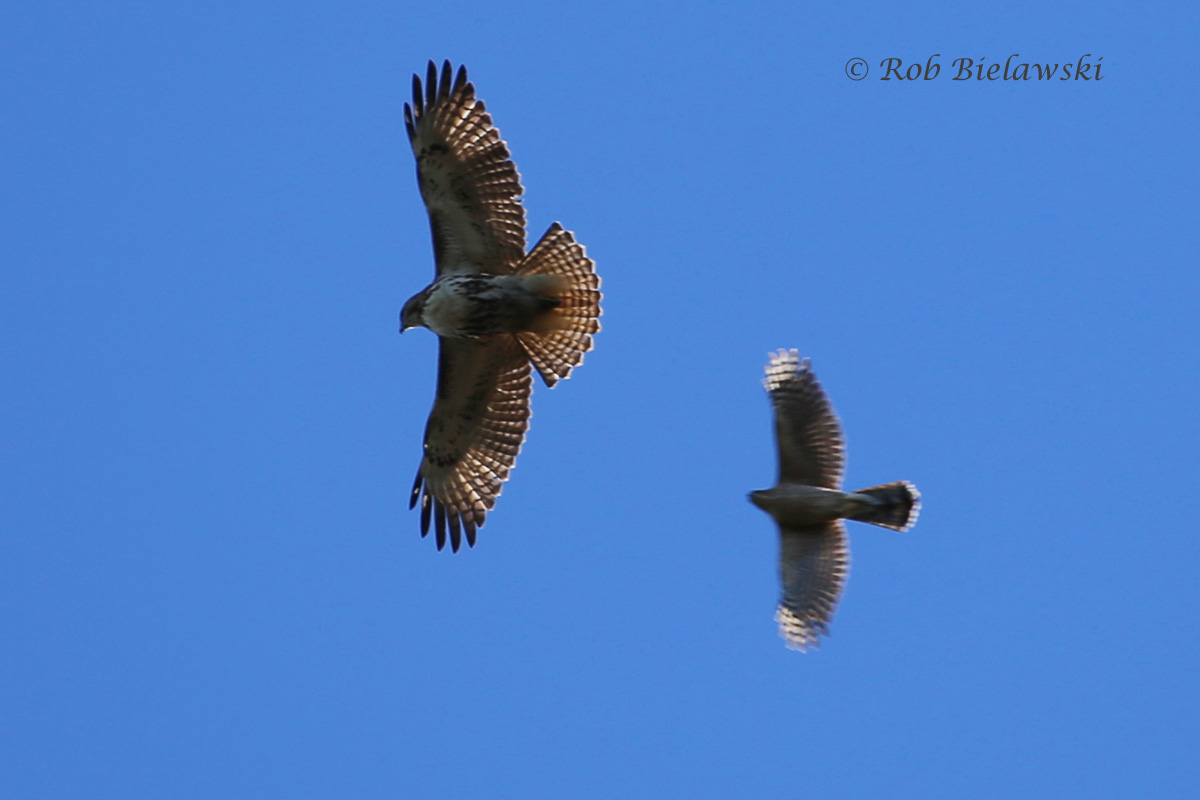 Red-tailed & Cooper's Hawk