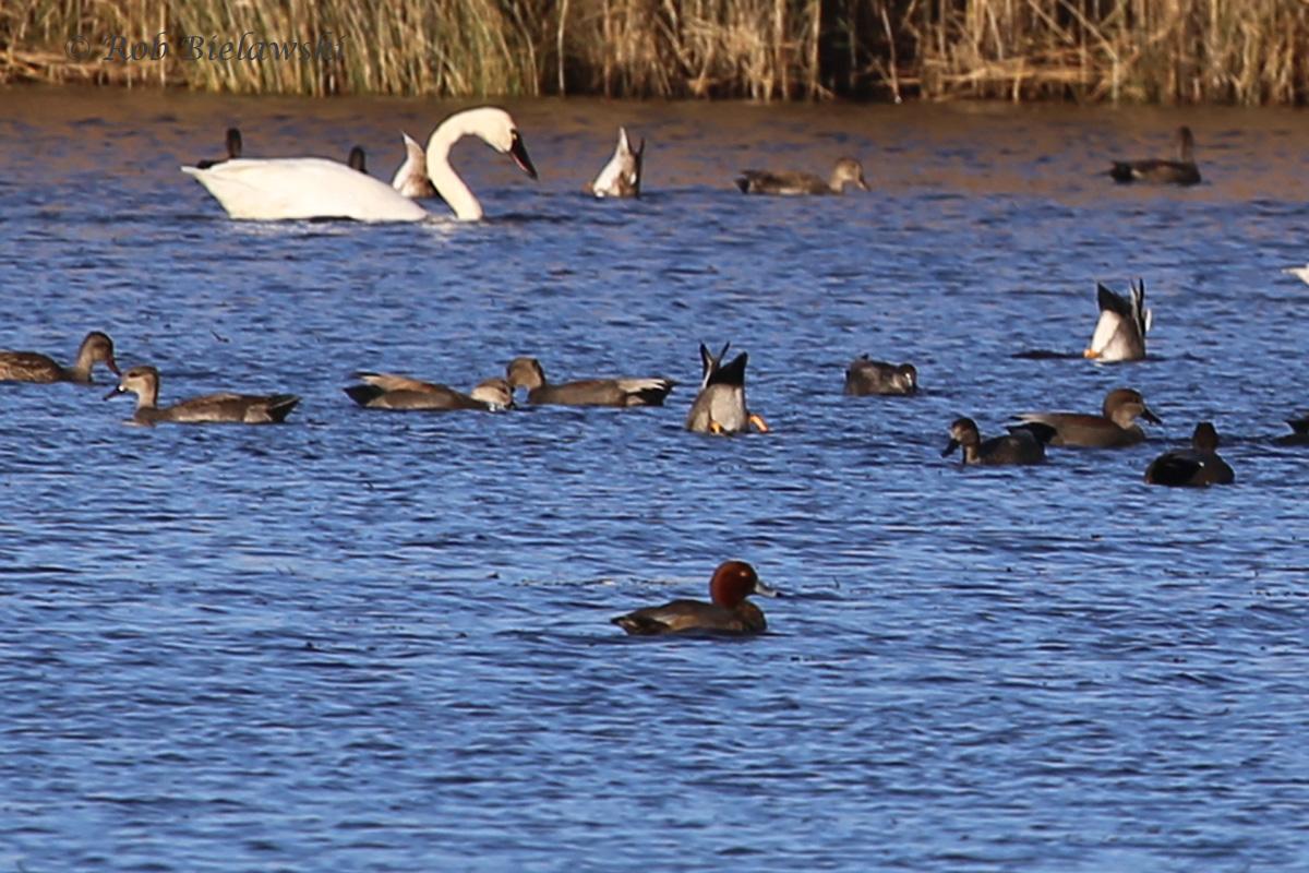 Redhead, Gadwall & Tundra Swan