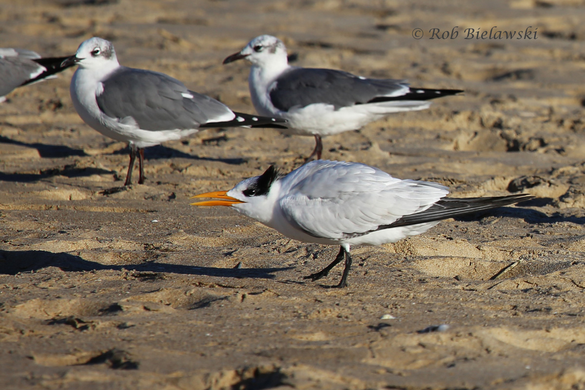 Royal Tern (foreground) with Laughing Gulls (background) - 15 Nov 2015 - Rudee Inlet, Virginia Beach, VA