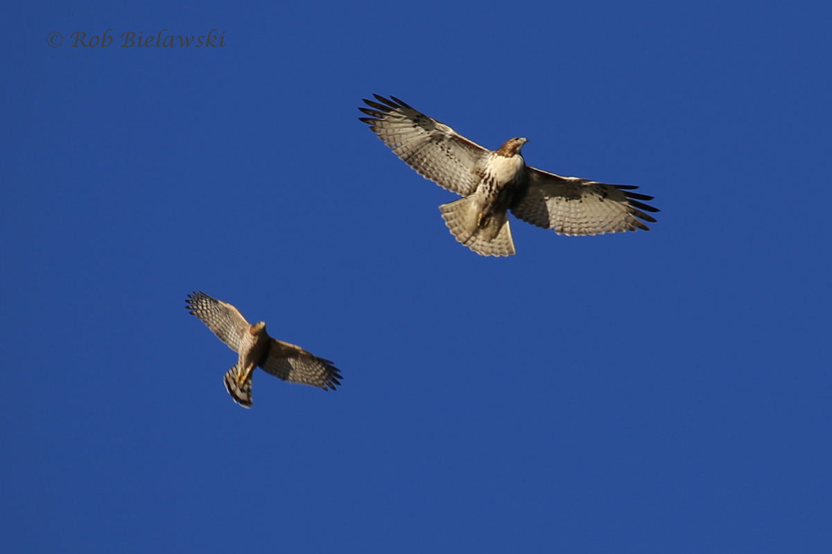 Red-tailed Hawk (top right) with Cooper's Hawk -20 Nov 2015 - Kings Grant Lakes, Virginia Beach, VA