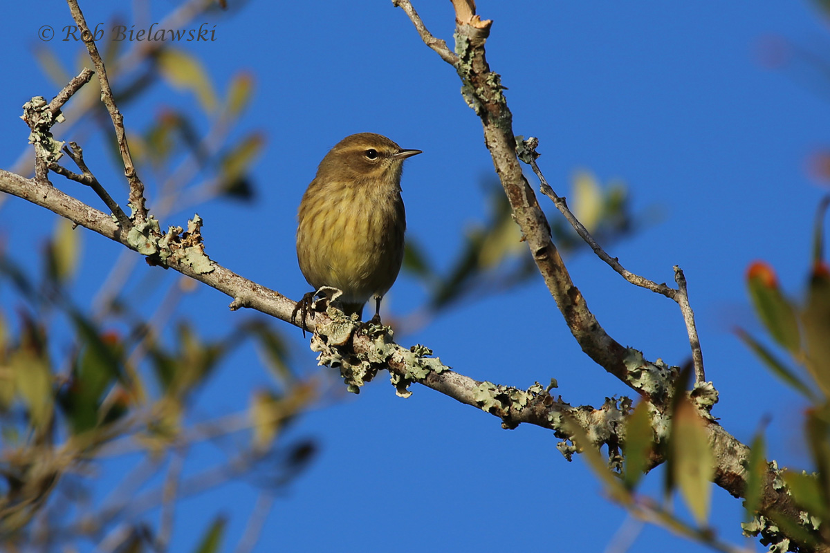 A very beautiful Palm Warbler, one of the more common warblers of the southeastern US in wintertime!