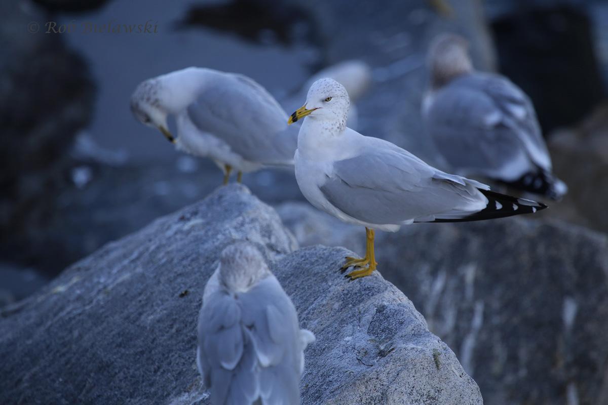 Ring-billed Gull & Herring Gulls