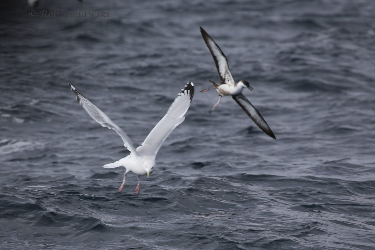 Herring Gull & Great Shearwater