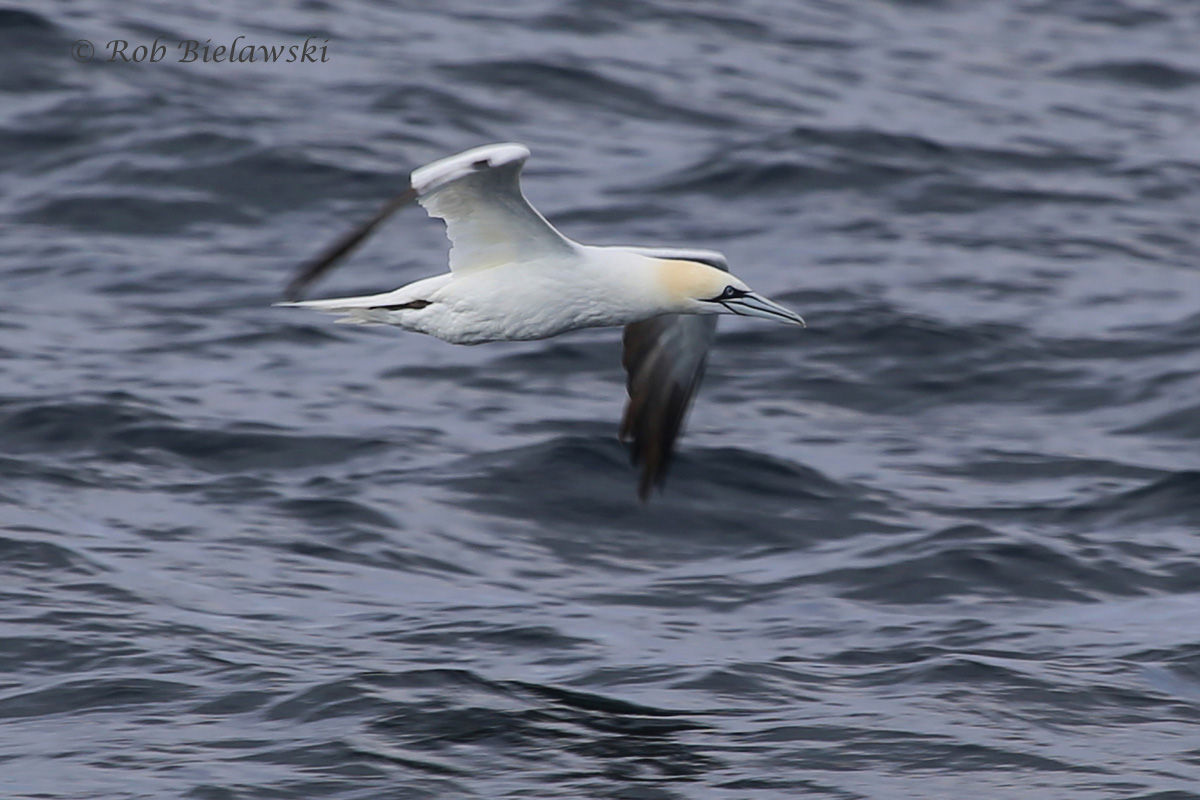 A beautifully marked adult Northern Gannet off the coastline!