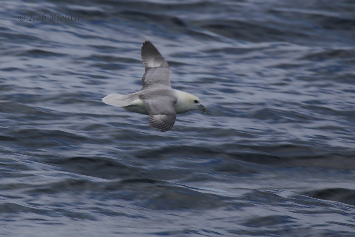 One of several new life birds on the day, a Northern Fulmar!