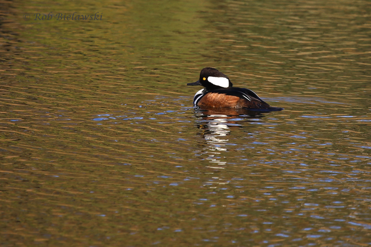 One of our most colorful wintering ducks, the drake Hooded Merganser!