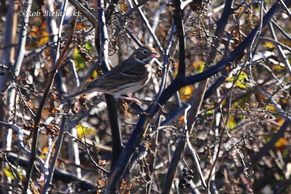 A new life bird, a Vesper Sparrow, seen at Magothy Bay Natural Area Preserve on Saturday!