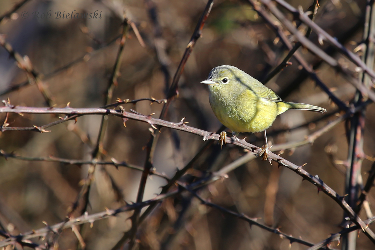 Only present in the area during wintertime, this is an Orange-crowned Warbler, seen in a thorny thicket on the Eastern Shore!
