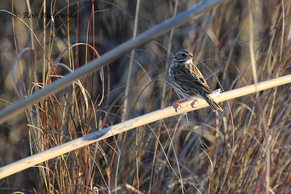 Another of our winter inhabitants, this time a Savannah Sparrow seen at Back Bay NWR on Sunday morning!