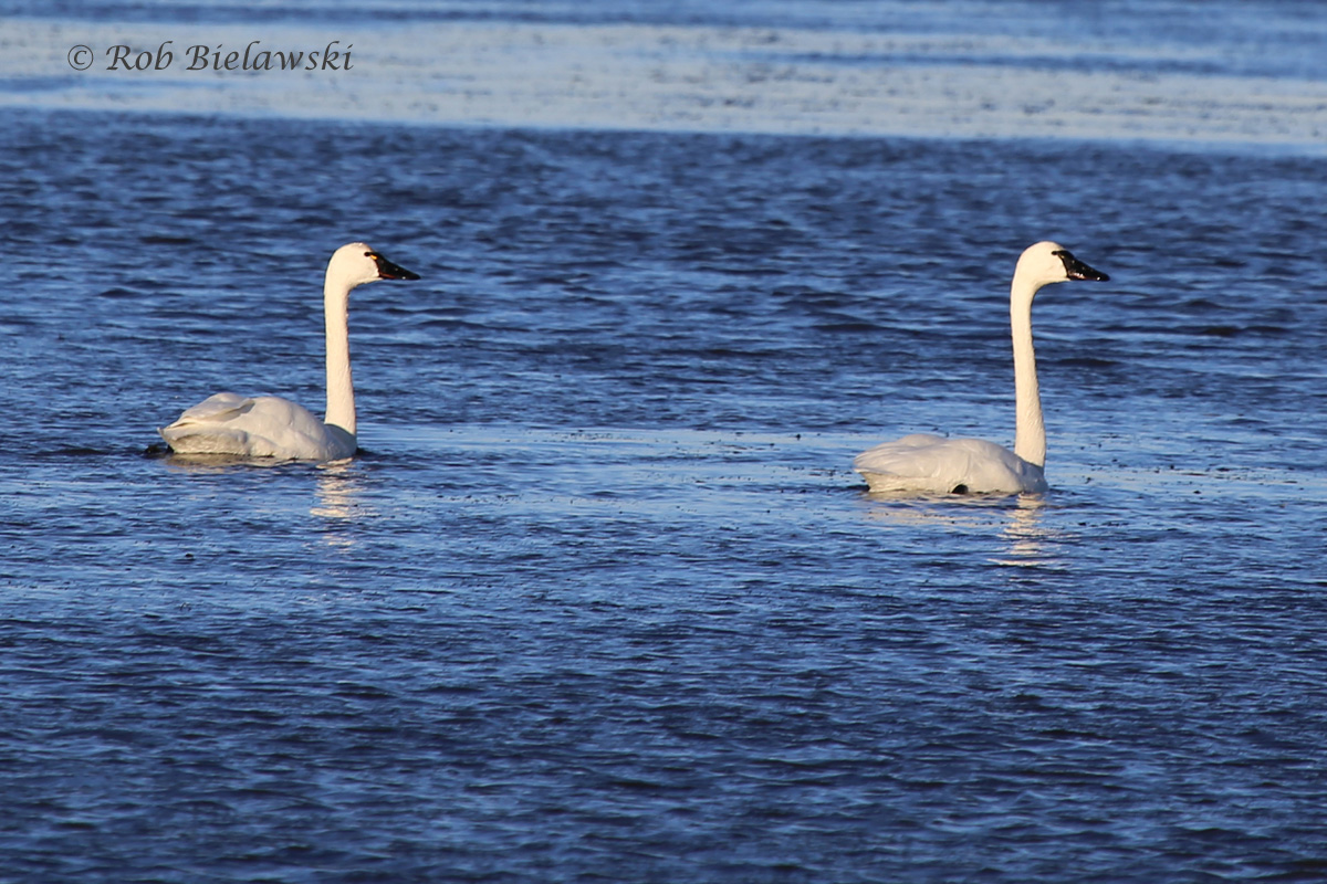 Tundra Swans were seen in huge numbers at Back Bay NWR when the weather cleared Sunday!