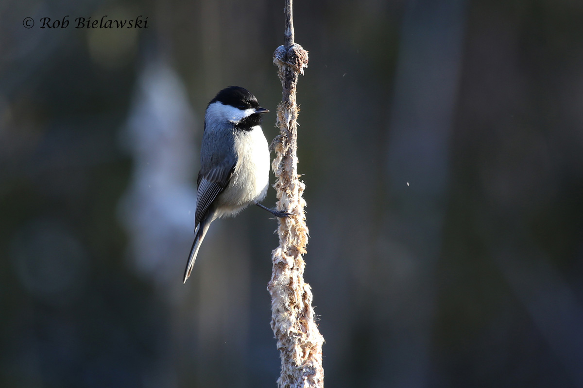 The only cooperative Carolina Chickadee I could find this week, but glad to get this single shot off!