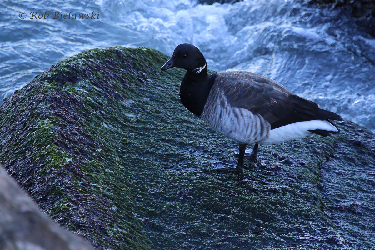 A single Brant was seen on South Thimble Island of the CBBT complex on Sunday, always a nice sight!