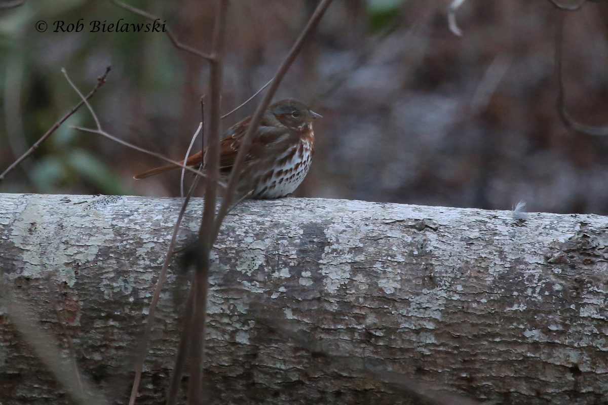 My first Fox Sparrow of the year, seen at First Landing SP early on Saturday morning!