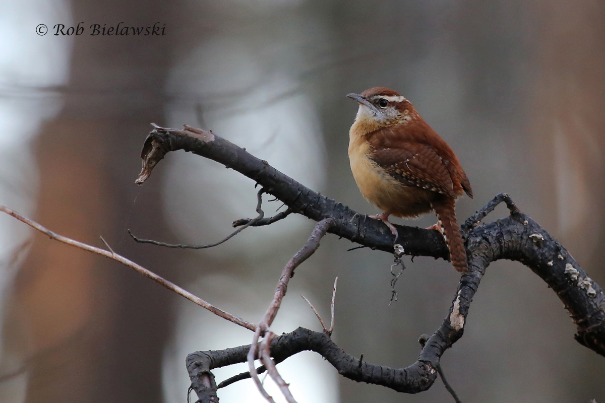Packing one of the strongest voices in the woods, this small Carolina Wren was singing up a storm at First Landing!