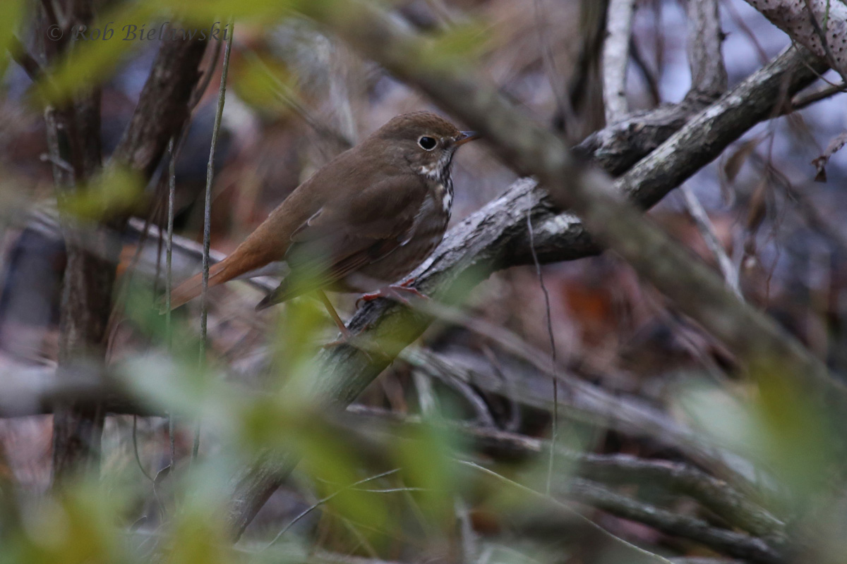 A first of year bird, and a tough one to spot in winter, the Hermit Thrush!