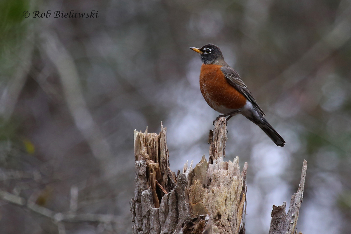 Since I was on a roll with the thrushes, I figured posting this American Robin, also from First Landing made a perfect fit!