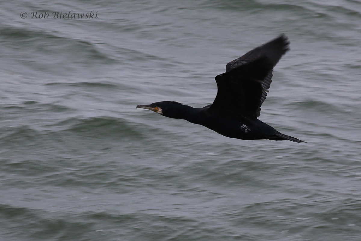 Finally, a clear shot of a Great Cormorant, seen here from Island #1!