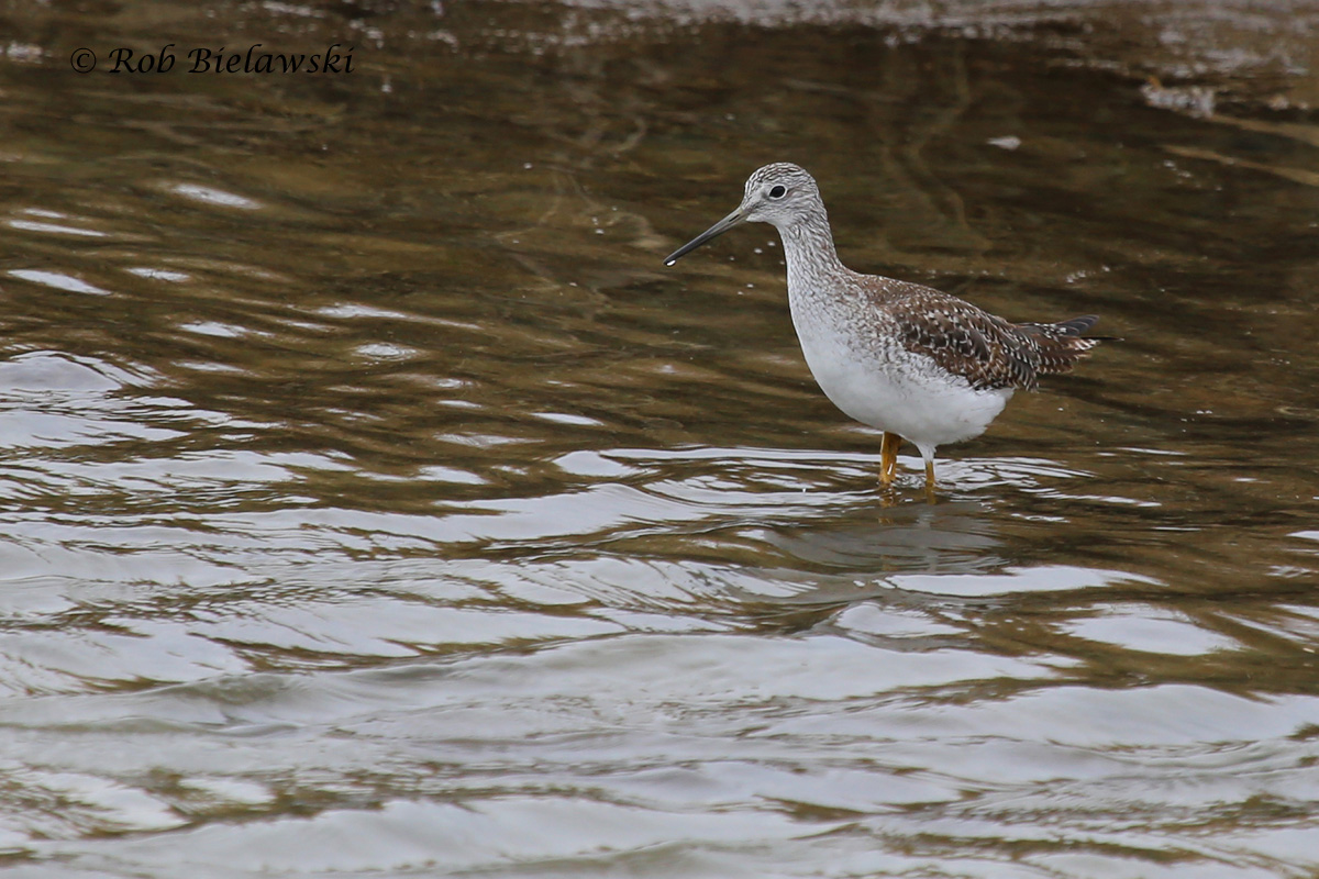 The second new bird on the weekend, one of five Greater Yellowlegs observed near low tide at Pleasure House Point!