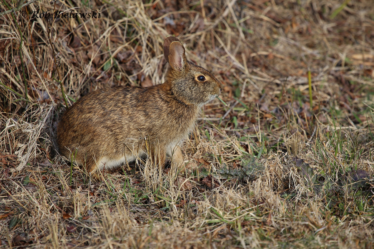 Birds were pretty quiet at Back Bay NWR on Saturday morning, but this Marsh Rabbit provided entertainment!