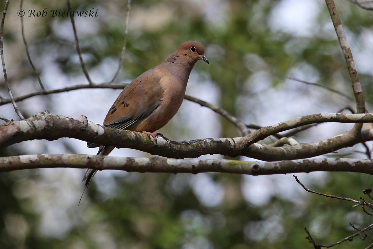 Mourning Dove and pretty forest surroundings at First Landing SP!