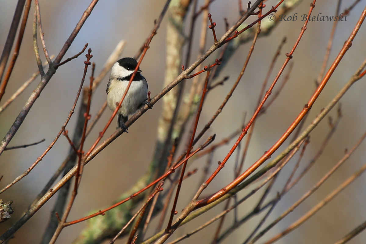 Everyone's favorite, a Carolina Chickadee!