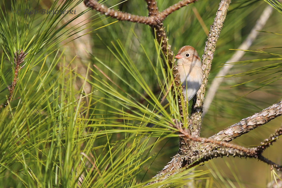 Taking a peek out from the safety of some pine needles, here is the same Field Sparrow!