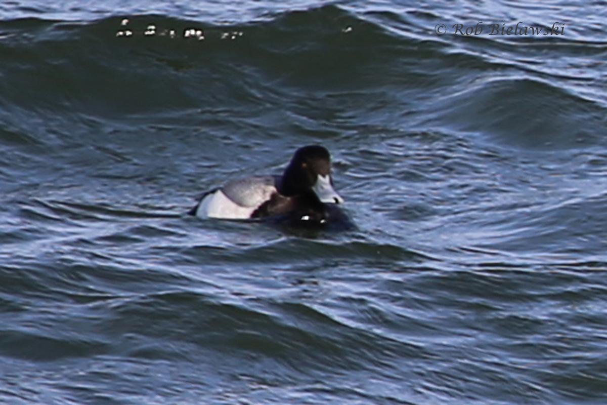 Lesser Scaup showing thin black nail at bill tip - 19 Feb 2016 - South Thimble Island, Virginia Beach, VA