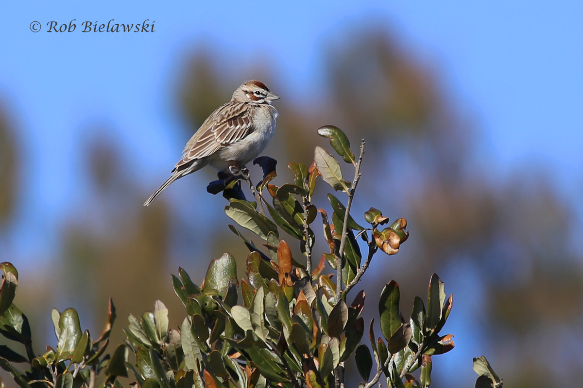 The Lark Sparrow continues at Back Bay NWR!