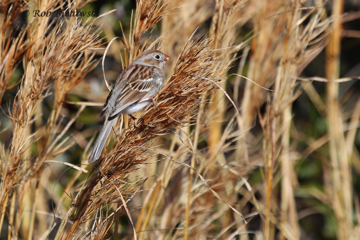 A vibrant Field Sparrow at Back Bay NWR on Saturday!