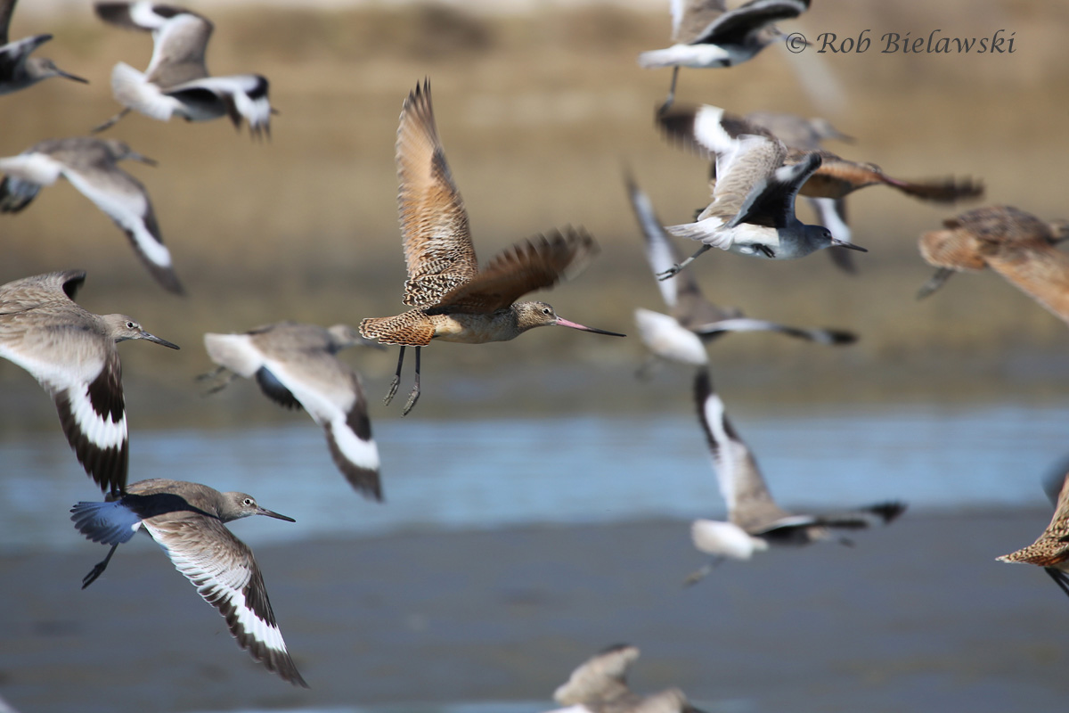 Marbled Godwits and Willets at Willis Wharf!
