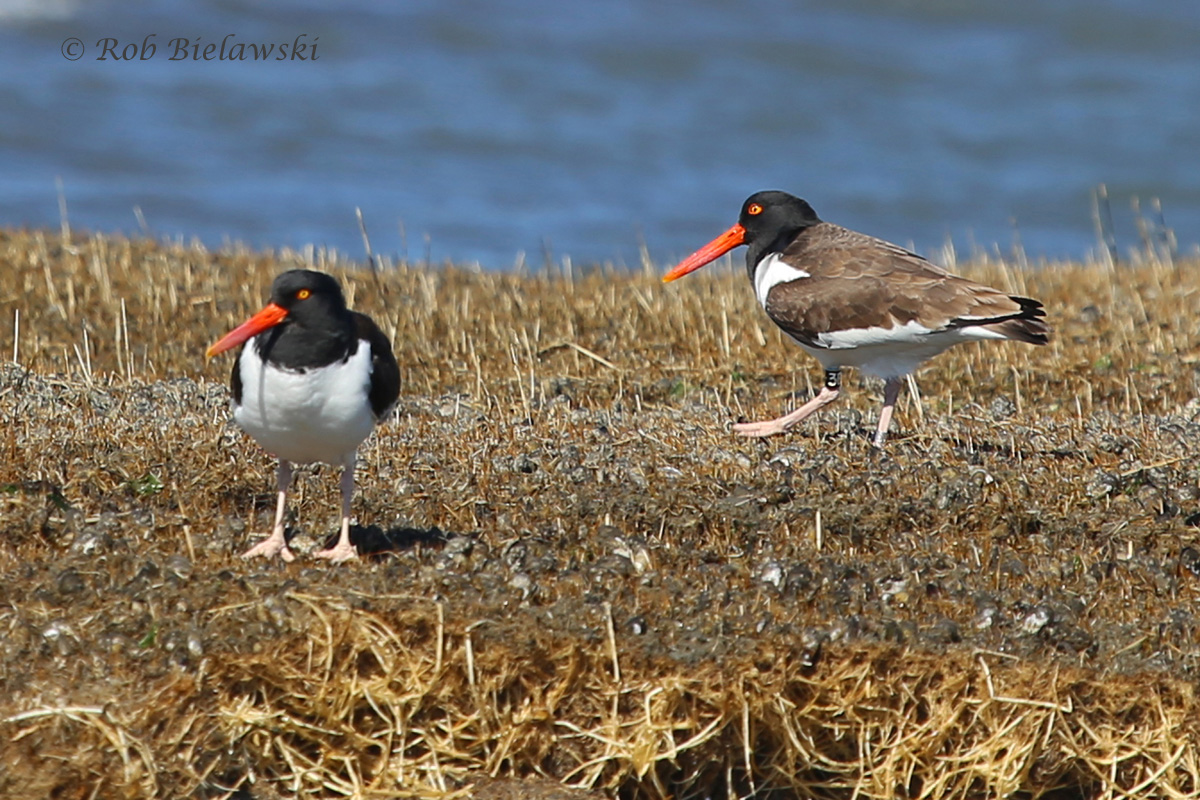 American Oystercatchers at Gull Marsh!