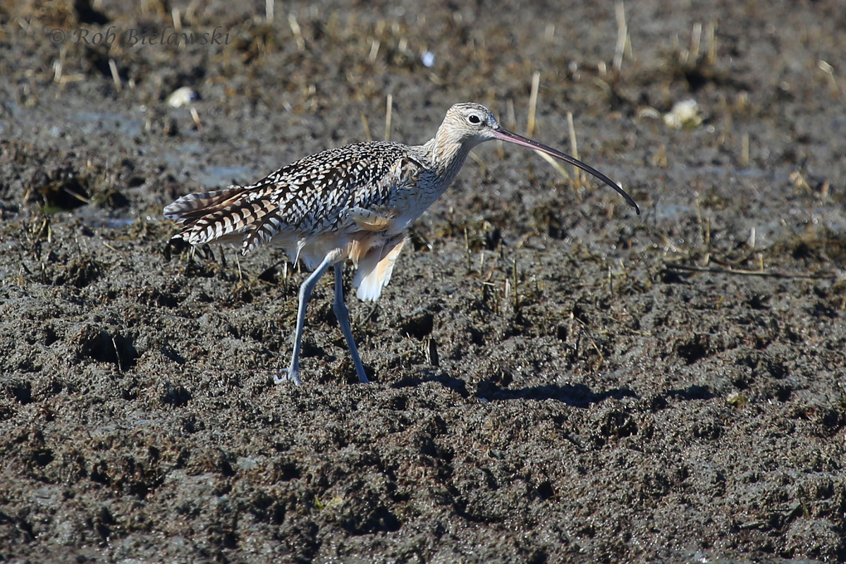 One of the three Long-billed Curlew we saw on Sunday!
