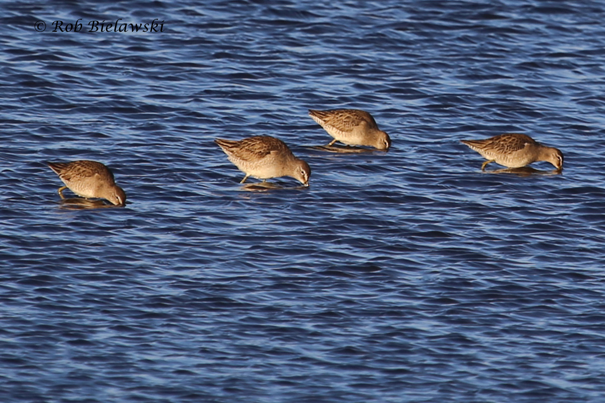 Dowitchers with at least one Long-billed (second from left) at Chincoteague NWR on Sunday evening!